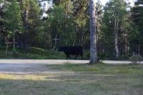 und auf einmal brache 30 Rinder aus den Büschen..